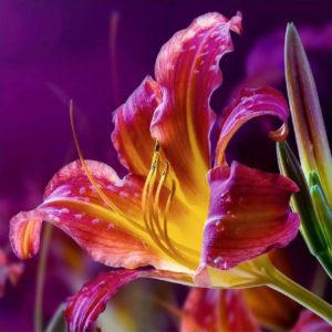 Огненная лилия