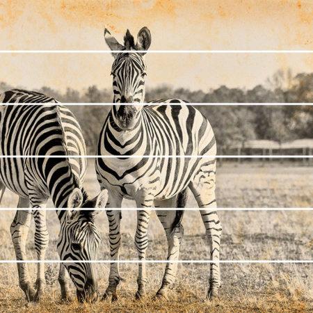 Kartini na doskax zebri